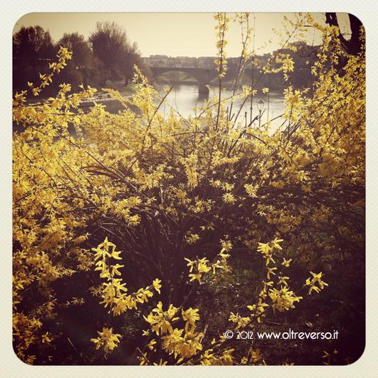 Forsizia fiorita e Ponte Balbis, Torino